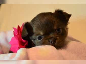 Wunderschöne Chihuahua Welpen mit Papiere