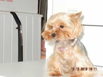 XS-Mini-Yorkshire-Terrier
