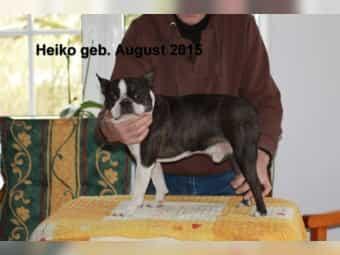 Boston Terrier mit Papiere Zuchtzulassung