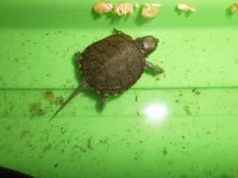 Gr Landschildkröten Eur Sumpfschildkröte Bücher