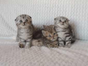Bezaubernde Scottish Fold straight Kitten