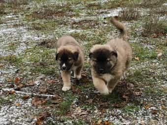 Pyrenaeenberghund Kaukasen mischlingswelpen