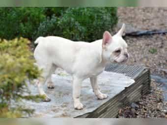 Französische Bulldogge Welpen in Merle