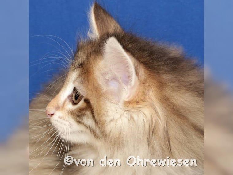 Norwegische Waldkatzen In Der Farbe Amber Verwaltungsgemeinschaft