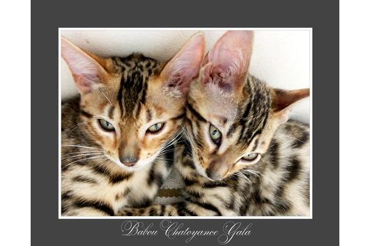Bengal Cat Kaufen Oder Inserieren Bei Deinetierwelt