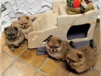 Pomeranian Zwergspitz Weibchen 8 Wochen