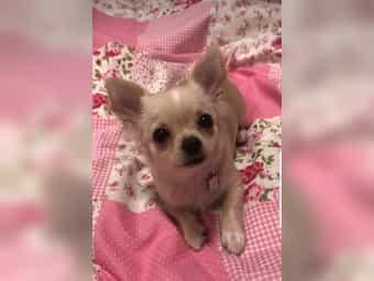 Chihuahua Welpen Mädchen Junge Langhaar