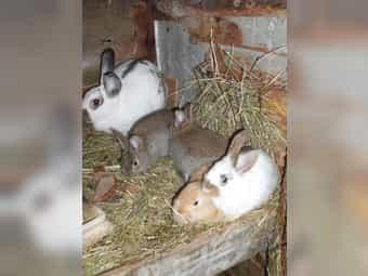 936147b991 ❤ schon also Kleinanzeigen (Kaninchen & Hasen) kaufen & verkaufen ...