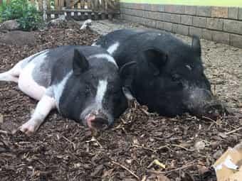 Zwei süße schwarz-weiße Minischweine suchen