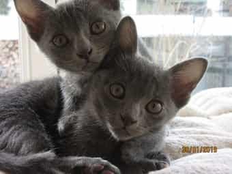 Korat-Kätzchen Rasselbande