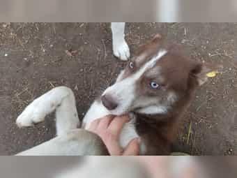 Mini Husky Kleinanzeigen Kaufen Verkaufen Bei Deinetierwelt
