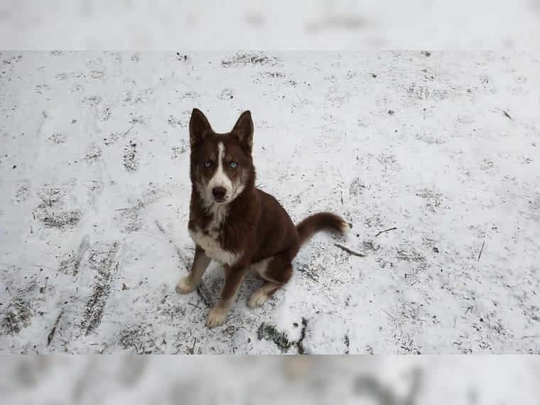 Mini Husky Mädchen Gera Siberian Husky Deine Tierweltde