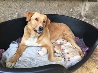 Berner Sennenhund Labrador Golden Retriever