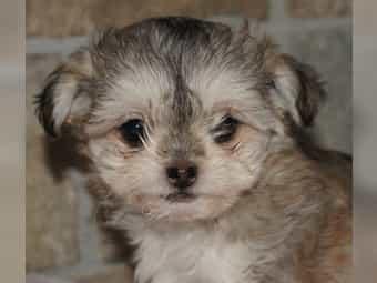 Chihuahua - Bolonka Chilonka Welpen