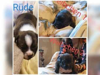 3 Akita Husky französische Bulldoggen