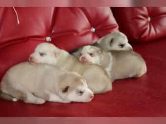 Siberian Husky Kaufen Oder Verkaufen Bei Deinetierwelt