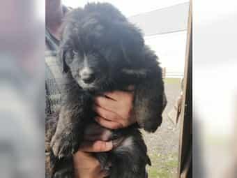 Berner Sennen Labrador Mischlingswelpen