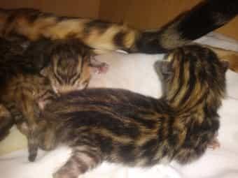 Bengal Kitten Katze Kater reinrassig