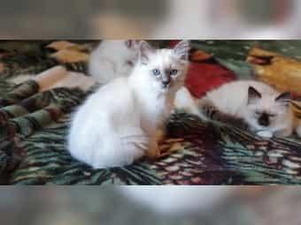 Birma Kätzchen