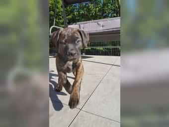 Labrador Boxer Bully Mix Welpen