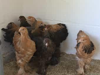 Brahma Riesenbrahma in rebhuhnfarben Hühner