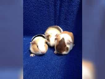 Meerschweinchenbabys Böckchen und Weibchen