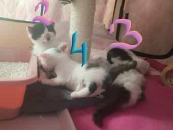 Türkisch Angora Kätzchen Babykatze Kitten