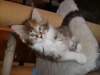 Maine Coon Kitten 11 Wochen