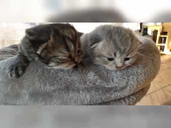 Brittische Kurzhaar Kitten BKH Scottish
