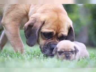 Puggle Welpen Beagle Mops