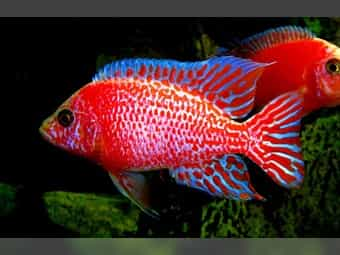 Firefish Kaiserbuntbarsche Aulonocara Spec Malawi