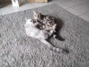 BKH Katze und Kater