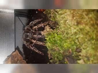 Biete Vogelspinnen P irminia Pt