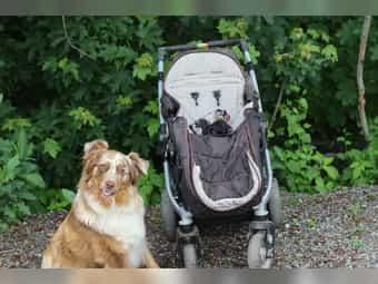 Australian Shepherd x Berner Sennenhund