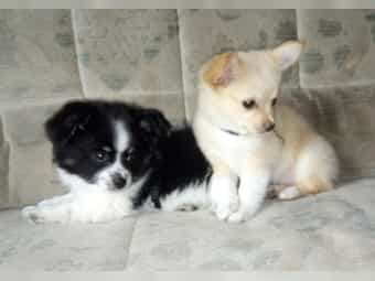Papillon - Chihuahua Welpen ab 600