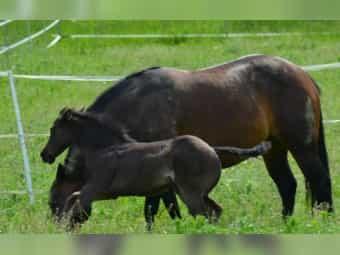 Quarter Horse Stute