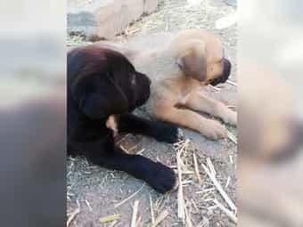 Boxer Schäferhund Doggen Mix