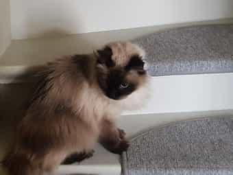 Neva masquarade Katze Sibirische Katze