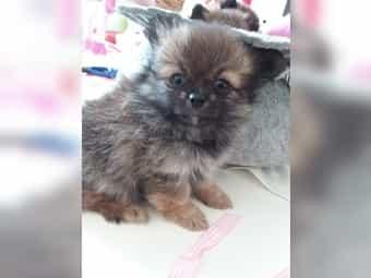 Chihuahua Zwergspitz Kleinanzeigen Kaufen Verkaufen Bei