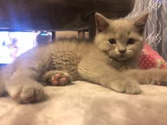 Bkh Blh kitten NUR HEUTE