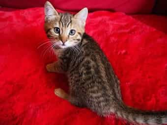 Wunderschöne Bengal-BKH Kitten Mix Katze