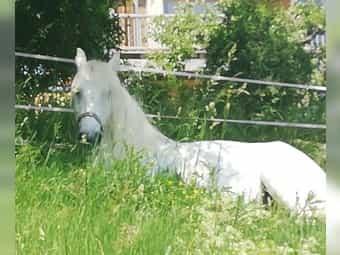 Hübsche Dales Pony Stute