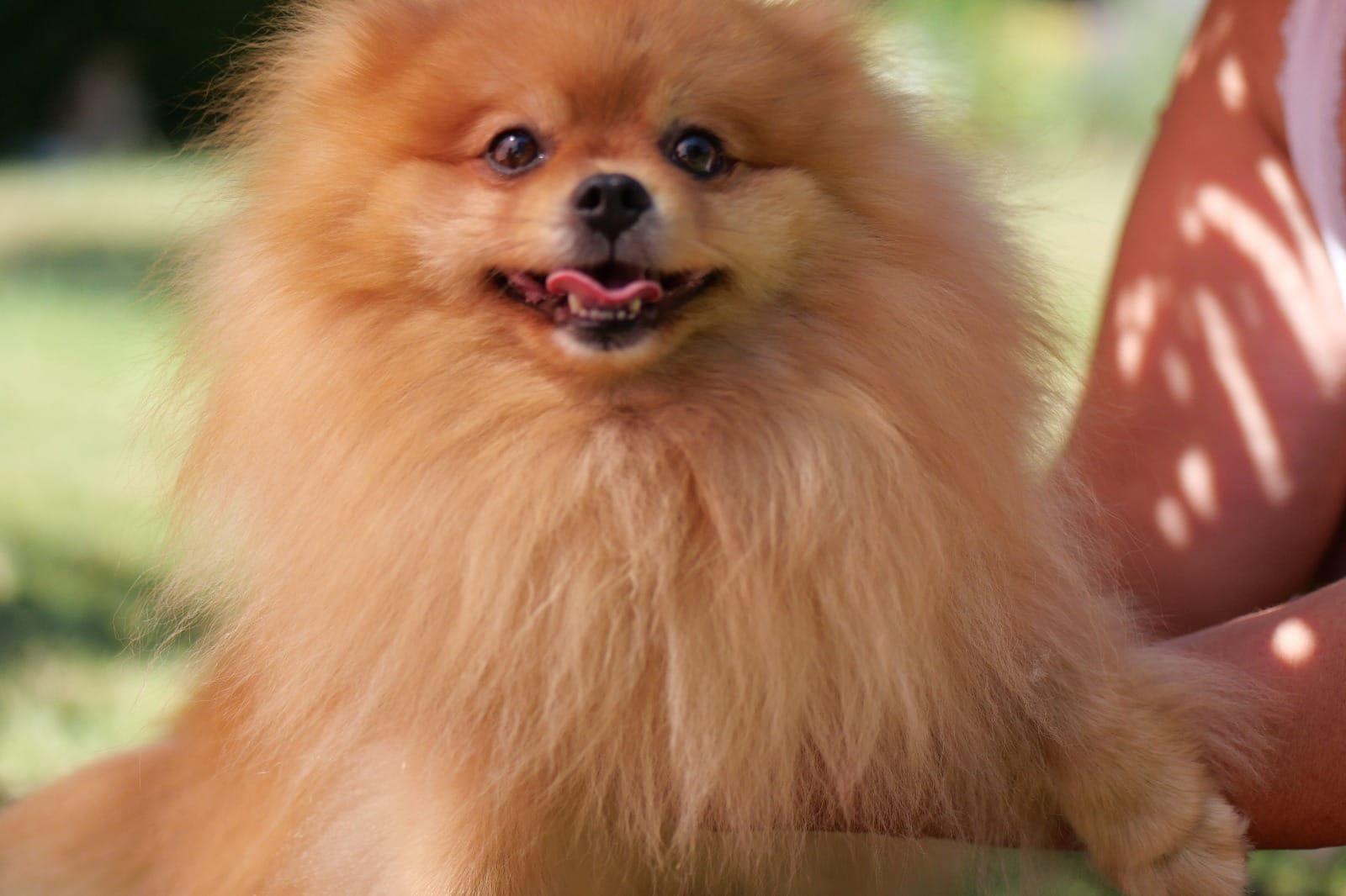 * Pomeranian Zwergspitz * mini Welpen reinrassig mit