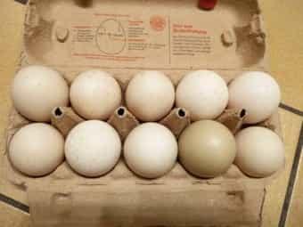 0 50 EUR Enteneier Eier