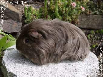 Rassemeerschweinchen aus seriöser Zucht - Coronet