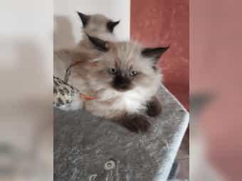 ABSOFORT Neva Masquarde Kitten