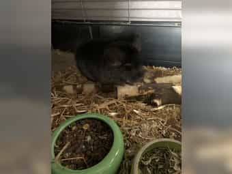 Chinchilla Böckchen Black-Velvet 11 Monate