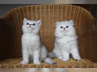 Silver-Shaded Perser und Exotic-Shorthair Babys