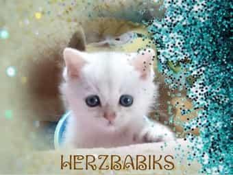BKH Kitten zum verlieben