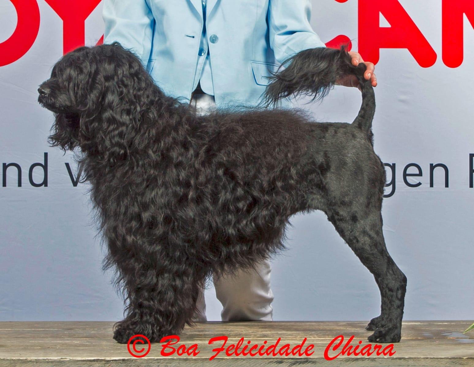 Portugiesische Wasserhund Welpen (Bad Wildungen